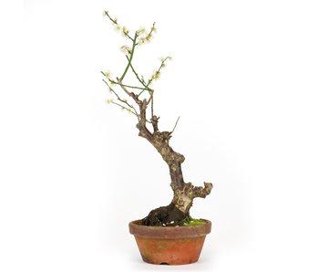 Prunus mume, 50 cm, ± 15 jaar oud