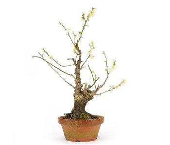 Prunus mume, 40 cm, ± 15 jaar oud