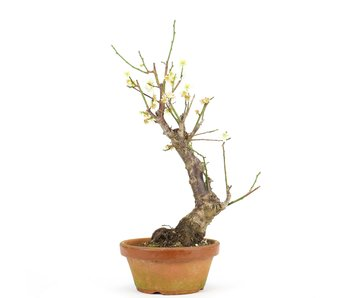 Prunus mume, 41 cm, ± 15 jaar oud