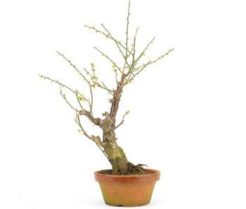 Prunus mume, 44 cm, ± 15 jaar oud