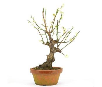 Prunus mume, 33 cm, ± 15 jaar oud