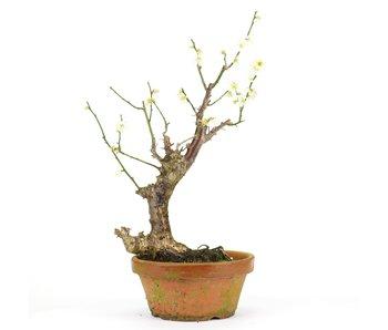 Prunus mume, 36 cm, ± 15 jaar oud
