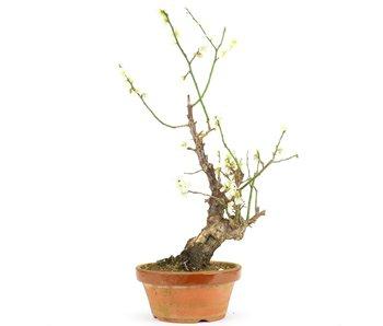Prunus mume, 47 cm, ± 15 jaar oud