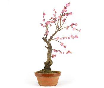 Prunus mume, 48 cm, ± 15 años