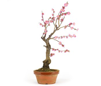 Prunus mume, 48 cm, ± 15 Jahre alt