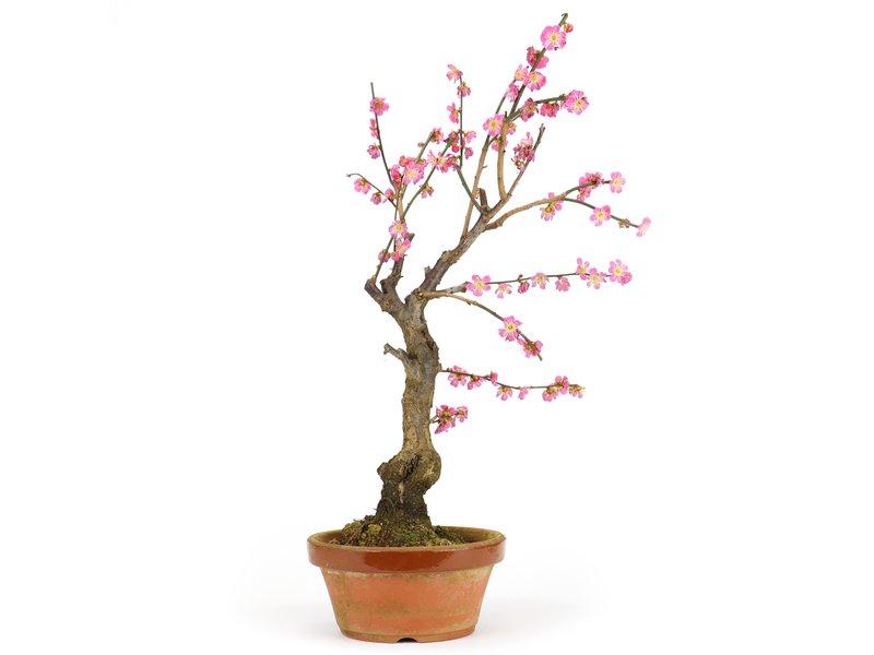 Prunus mume, 48 cm, ± 15 years old