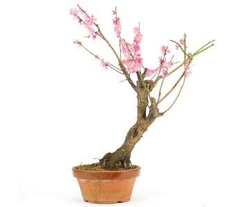 Prunus mume, 42 cm, ± 15 jaar oud