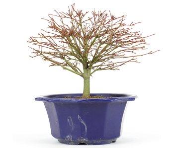 Acer palmatum, 18 cm, ± 8 jaar oud