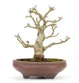Acer palmatum, 15 cm, ± 20 jaar oud