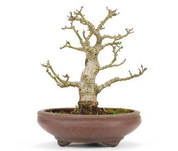 Acer palmatum, 15 cm, ± 20 years old