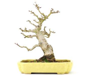 Acer palmatum, 16 cm, ± 20 jaar oud