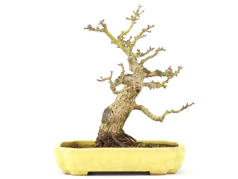 Acer palmatum, 16 cm, ± 20 jaar oud, in een handgemaakte Japanse gele Hattori pot
