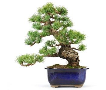 Pinus parviflora, 27 cm, ± 25 jaar oud