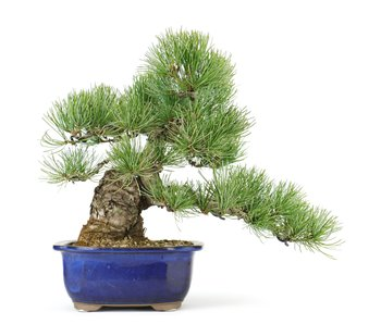 Pinus parviflora, 25 cm, ± 25 jaar oud