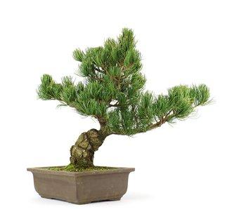 Pinus parviflora, 35 cm, ± 20 jaar oud