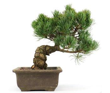 Pinus parviflora, 25 cm, ± 20 jaar oud