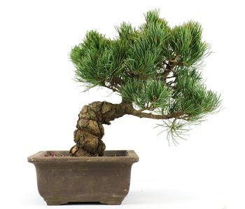 Pinus parviflora, 25 cm, ± 20 years old
