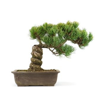 Pinus parviflora, 27 cm, ± 20 years old