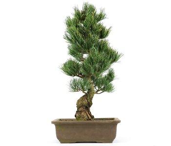 Pinus parviflora, 44 cm, ± 20 jaar oud