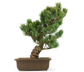 Pinus parviflora, 36 cm, ± 20 jaar oud