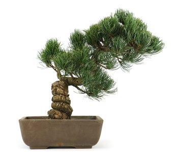 Pinus parviflora, 29 cm, ± 20 jaar oud