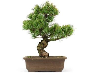 Pinus parviflora, 30 cm, ± 20 jaar oud