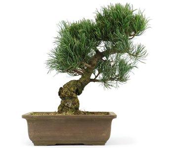 Pinus parviflora, 28 cm, ± 20 jaar oud