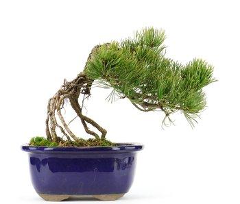 Pinus parviflora, 17 cm, ± 20 jaar oud