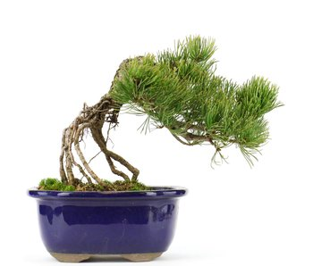 Pinus parviflora, 17 cm, ± 20 years old