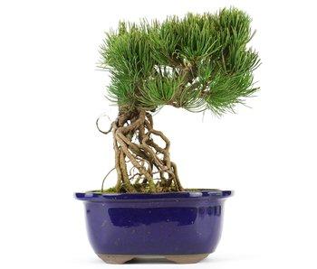 Pinus parviflora, 21 cm, ± 20 jaar oud