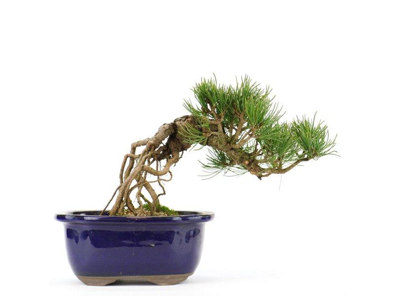 Pinus parviflora, 18 cm, ± 20 jaar oud