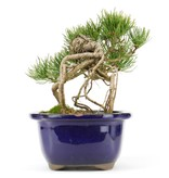 Pinus parviflora, 18 cm, ± 20 years old