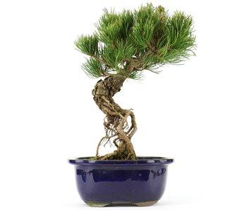 Pinus parviflora, 27 cm, ± 20 jaar oud