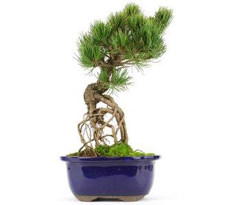 Pinus parviflora, 26 cm, ± 20 jaar oud