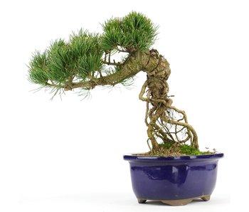 Pinus parviflora, 23 cm, ± 20 jaar oud