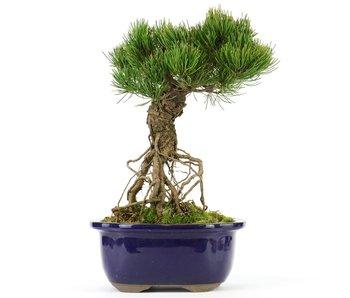 Pinus parviflora, 24 cm, ± 20 jaar oud