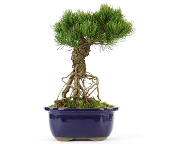Pinus parviflora, 24 cm, ± 20 years old