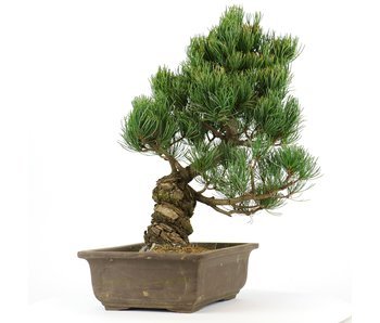 Pinus parviflora, 34 cm, ± 20 years old