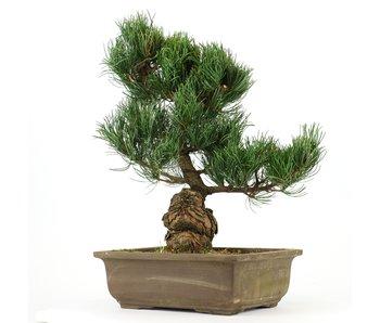 Pinus parviflora, 33 cm, ± 20 jaar oud