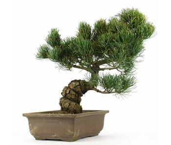 Pinus parviflora, 32 cm, ± 20 jaar oud