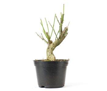 Euonymus alatus, 21 cm, ± 8 jaar oud