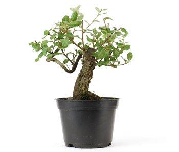 Quercus ilex, 20 cm, ± 10 years old