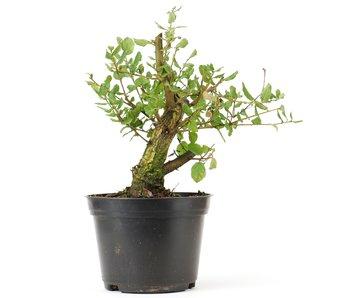 Quercus ilex, 21 cm, ± 10 jaar oud