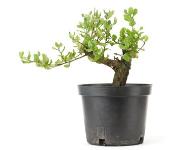 Quercus ilex, 13 cm, ± 10 years old