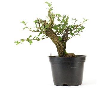 Quercus ilex, 18,5 cm, ± 10 years old