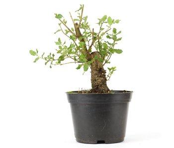 Quercus ilex, 17,5 cm, ± 10 jaar oud