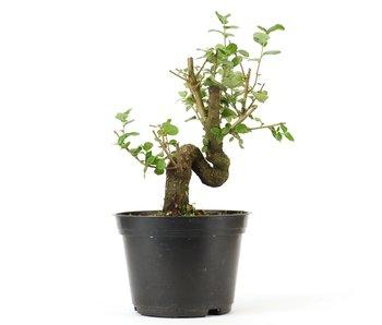 Quercus ilex, 16,5 cm, ± 10 jaar oud