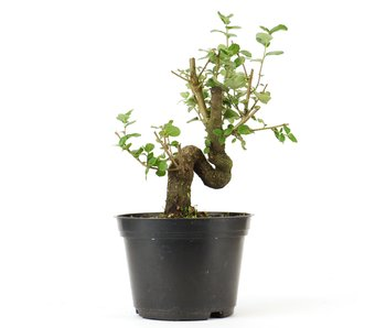 Quercus ilex, 16,5 cm, ± 10 years old