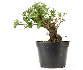 Quercus ilex, 17 cm, ± 10 jaar oud