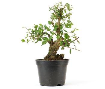 Quercus ilex, 24 cm, ± 10 years old